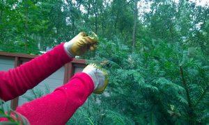Syksyn hoitoleikkaukset puille ja pensaille hellin ottein