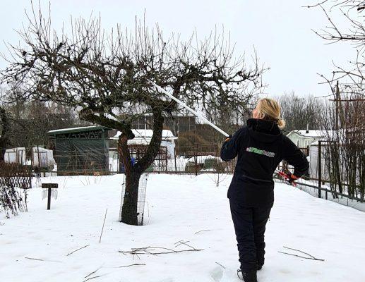Omenapuun vesiversoja leikataan pitkävartisilla oksasaksilla
